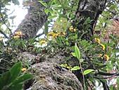 黃萼捲瓣蘭:IMG_1026.jpg