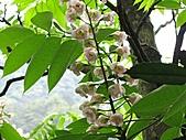 鐘萼木花盛開:IMG_4185.jpg