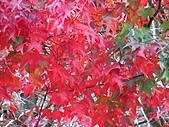 武陵楓正紅:IMG_1579.jpg