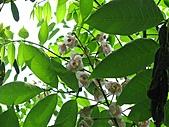 鐘萼木花盛開:IMG_4186.jpg