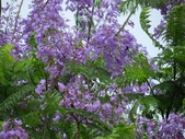 藍花楹:IMG_0356.jpg