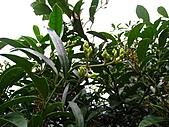 台灣馬醉木、小錦蘭、石月、土肉桂、烏心石:IMG_6516.jpg