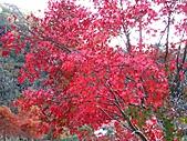 武陵楓正紅:IMG_1580.jpg