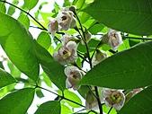 鐘萼木花盛開:IMG_4187.jpg