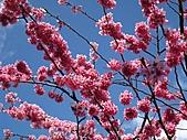 春之花海-武陵賞櫻(1):IMG_6539.jpg