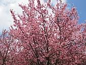 春之花海-武陵賞櫻(2):IMG_2913.jpg