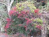 武陵楓正紅:IMG_1523.jpg