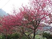 西羅岸賞櫻:IMG_2631.jpg