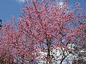 春之花海-武陵賞櫻(2):IMG_2902.jpg