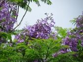 藍花楹:IMG_0347.jpg